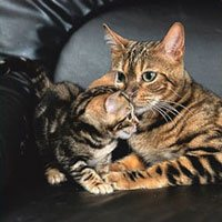 bengal cat mother cat with bengal kitten