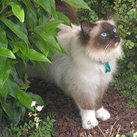 birman cat fluffy white with black face front profile