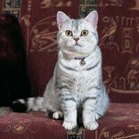 british shorthair cat silver tabby cat sat down