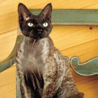 devon rex cat black sat down