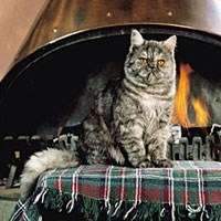 exotic shorthair cat sat in front of fireplace indoors