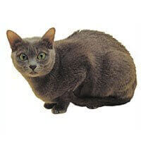 korat cat black crouched down white background