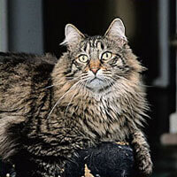 maine coon cat head