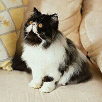 persian cat black and white small fluffy