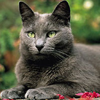 russian blue cat lying down outside