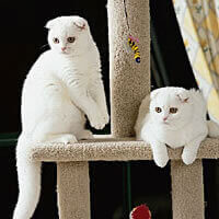 scottish fold cat white small ears kittens