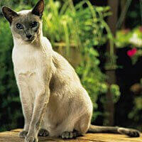 siamese cat sat outside