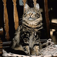 siberian forest cat indoors sat down