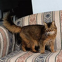 somali cat standing on sofa