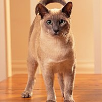 tonkinese cat cat front profile