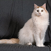 turkish van cat fluffy white cat sat indoors