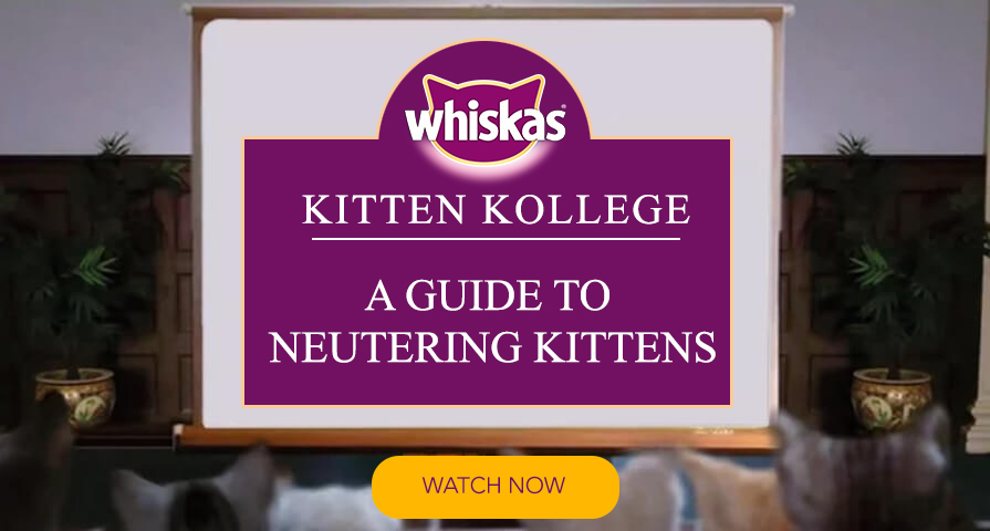 kitten neutering guide information for kitten owners kitten kollege video