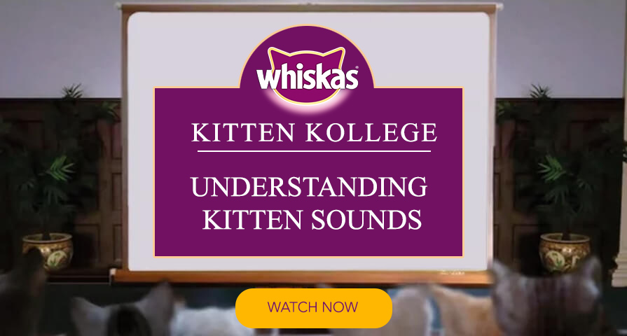kitten sounds cat talking meaning of cat sounds kitten kollege video
