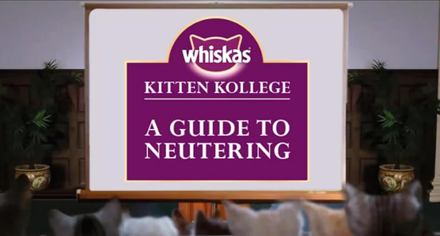 kitten neuter guide