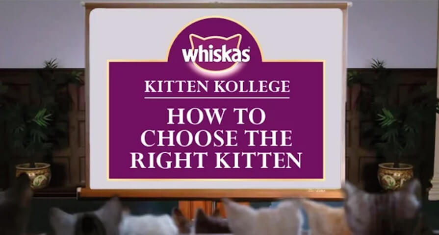 how to choose a kitten breed