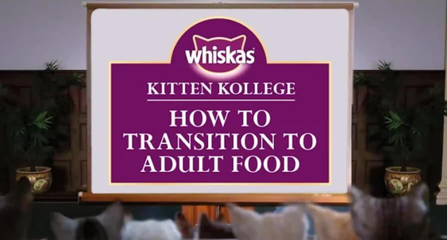 transition to adult food kitten