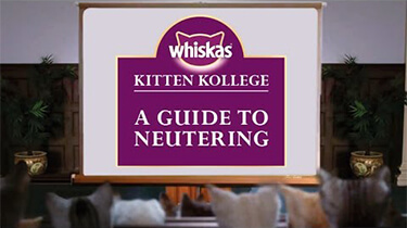 neutering kitten guide from kitten kollege video