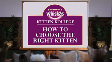 choosing a kitten breed